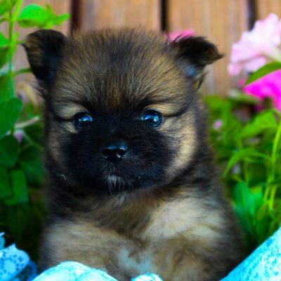 Benji - Pomeranian puppy for sale in Grabill, Indiana