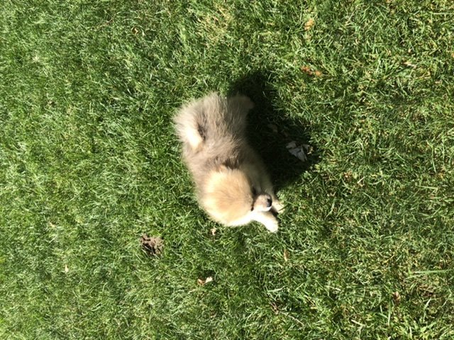 Beau - male Pomeranian doggie for sale at Fishers, Indiana