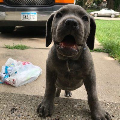 Baby - ICCF Cane Corso doggie for sale near Des Moines, Iowa