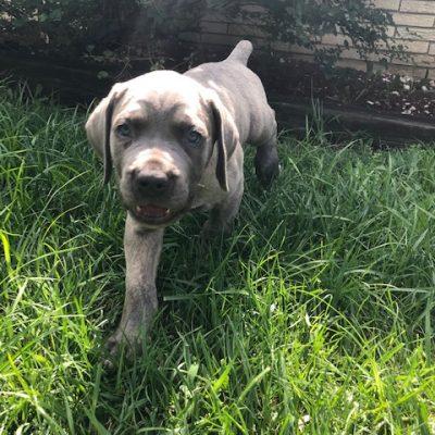 Blue Dots - ICCF Cane Corso pup for sale at Little Rock, Arkansas