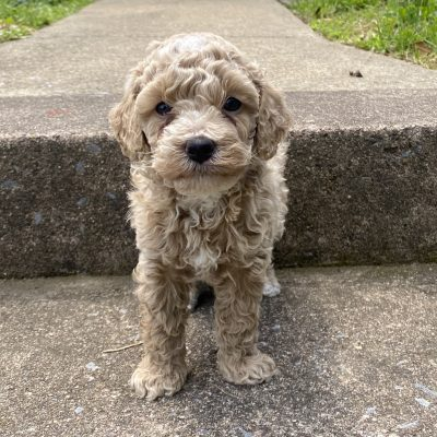 Alvin - ICA Miniature poodle puppy for sale near Harrisburg, Pennsylvania