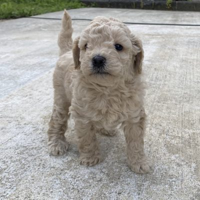 Baby - ICA Miniature poodle doggie for sale in Harrisburg, Pennsylvania