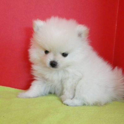 Abbie - AKC female Pomeranian pup for sale at Greenville, Georgia