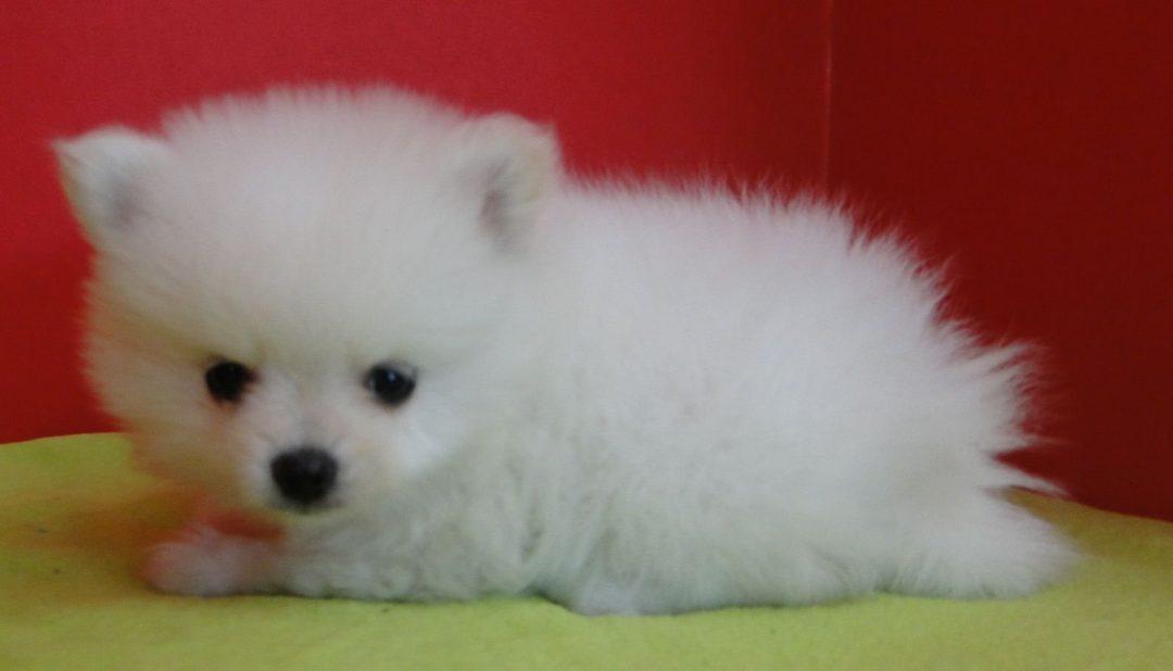 Abbie - AKC female Pomeranian pup for sale at Greenville, Georgia