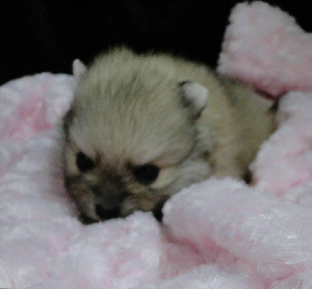 Patton - pupper AKC Pomeranian for sale in Greenville, Georgia