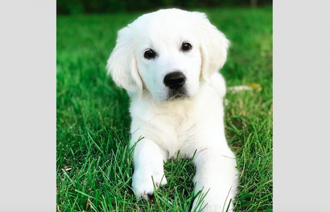 VIOLET - AKC Golden Retriever female doggie for sale
