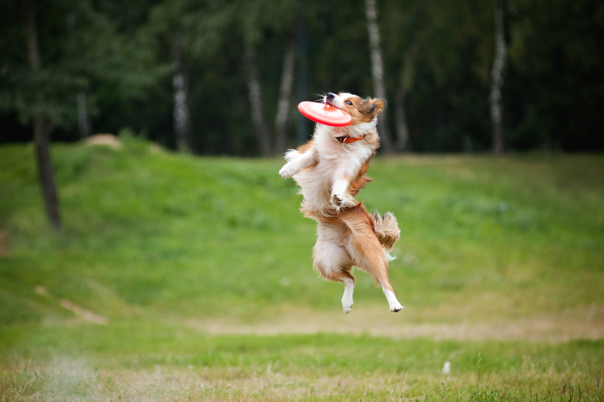 Border Collie playing frisbee - mental stipulation can help your dog live longer
