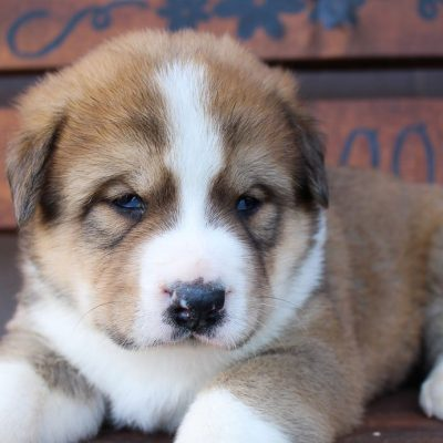 Ranger - ICA Bernese Mtn. Dog/ Akita puppy for sale at Spencerville, Indiana
