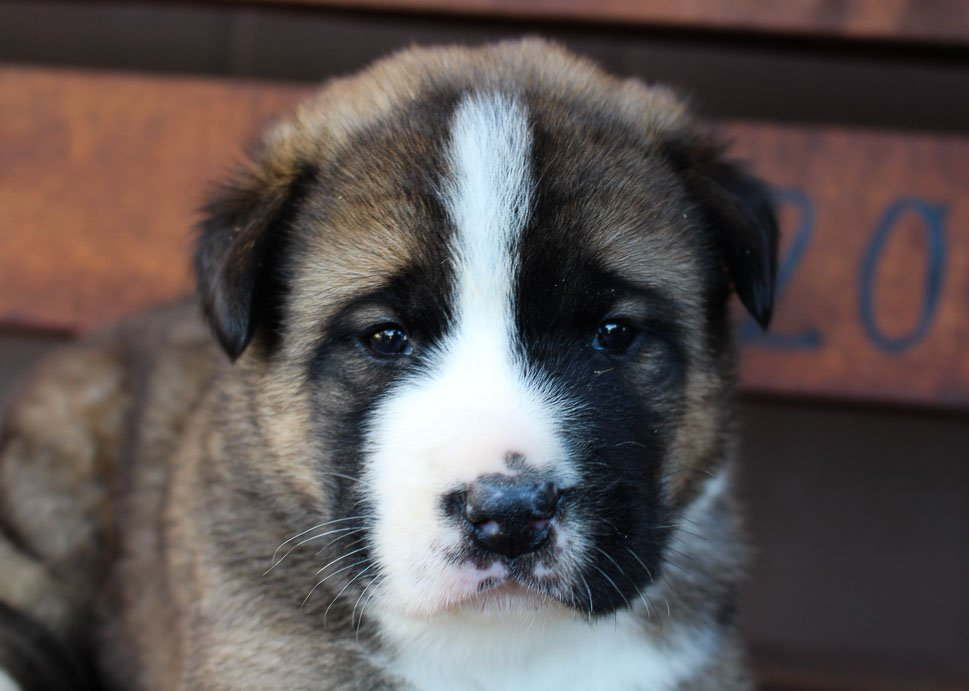 Chief - pup ICA Bernese Mtn. Dog/ Akita for sale near Spencerville, Indiana