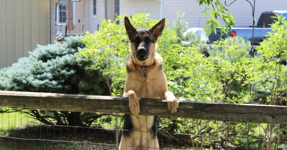 23 Best Guard Dogs [Plus what to know before bringing one home]