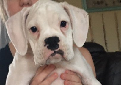 White female ACA Boxer pup for sale near Seymour, Connecticut