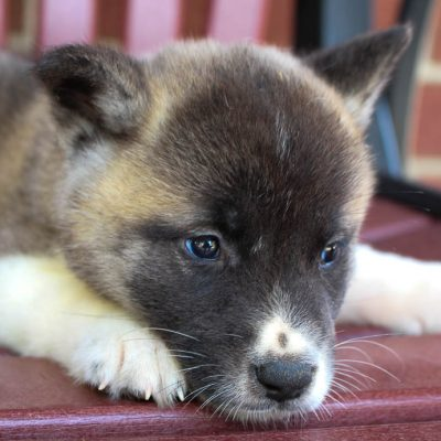 Lovely - AKC Akita puppy for sale near New Haven, Indiana