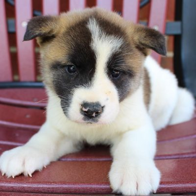 Lassy - AKC Akita puppie for sale at New Haven, Indiana