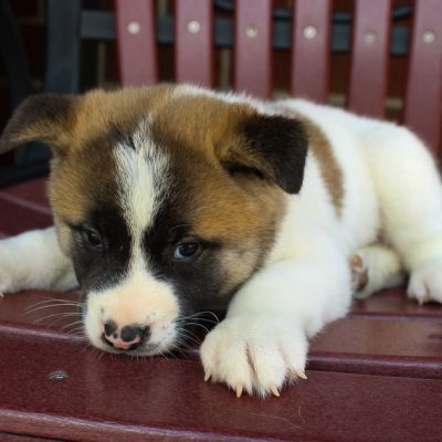Amber - pupper AKC Akita for sale in New Haven, Indiana