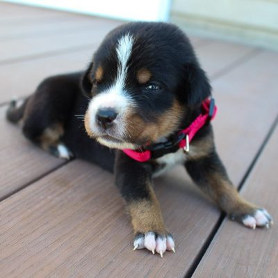 Cathy - AKC Greater Swiss Mountain puppy for sale near Fort Wayne, Indiana