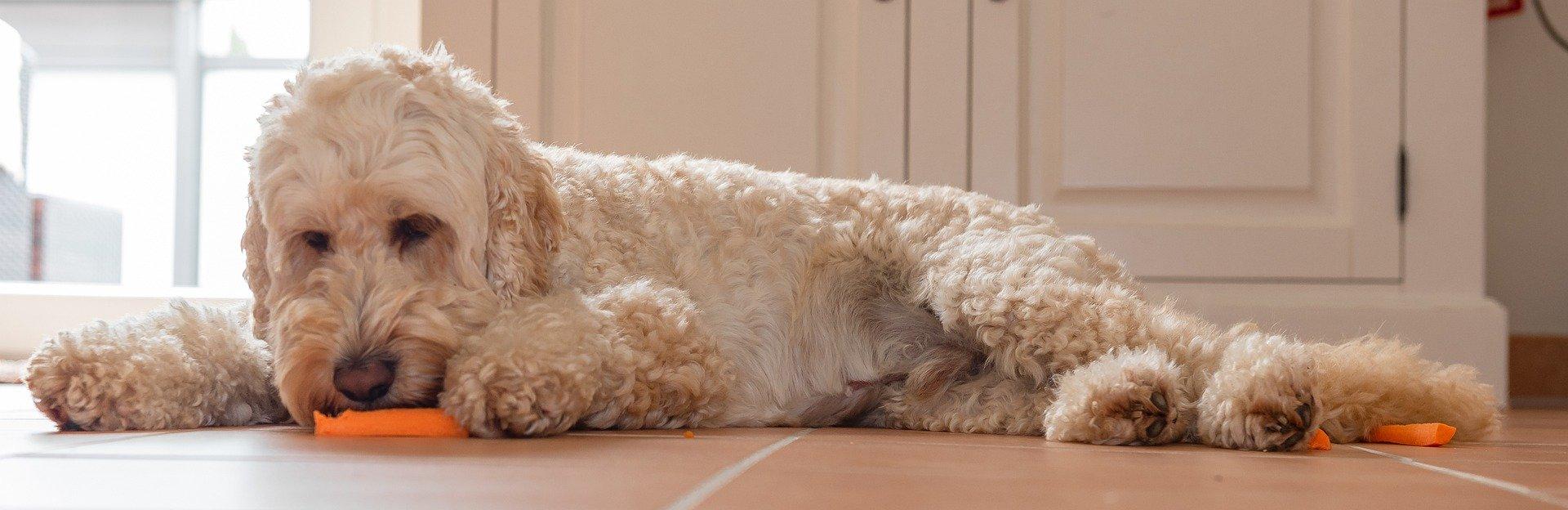 dog laying down munching on carrots