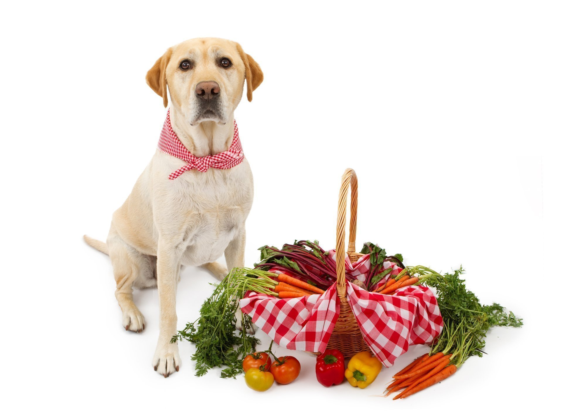 Yellow Labrador Retriever with a large basket of vegetables wearing a checkered scarf.