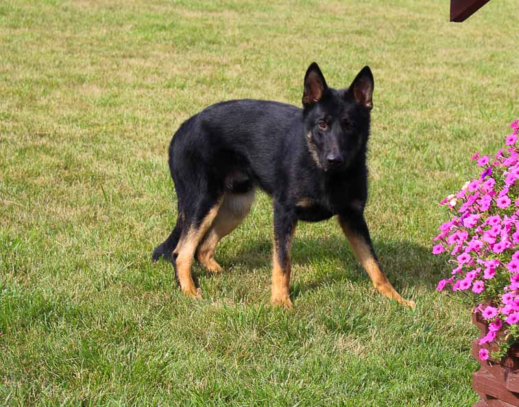 Jacob - AKC German Shepherd doggie for sale in New Haven, Indiana