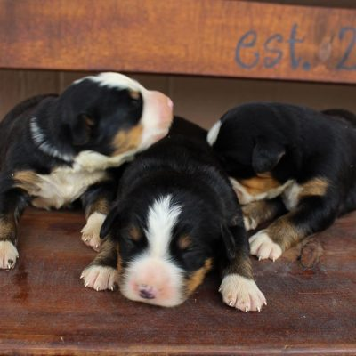 AKC Bernese Mtn. Dog for sale in Spencerville, Indiana