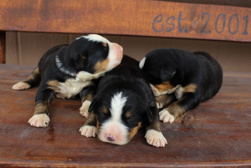 AKC Bernese Mtn. Dog for sale in Spencerville, Indiana