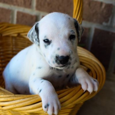 Candace - AKC Dalmatian puppie for sale in Woodburn, Indiana