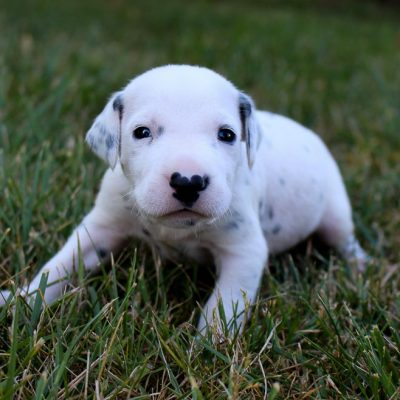 Champ - doggie AKC Dalmatian for sale at Woodburn, Indiana