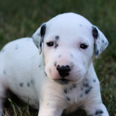 Kobe - AKC Dalmatian doggie for sale near Woodburn, Indiana