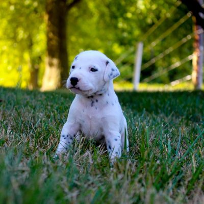 Olivia - AKC Dalmatian pup for sale in Woodburn, Indiana
