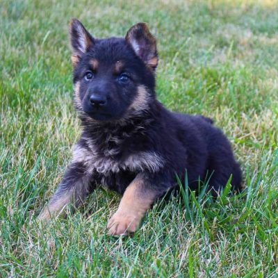 Carrie - pupper AKC German Shepherd for sale near Grabill, Indiana