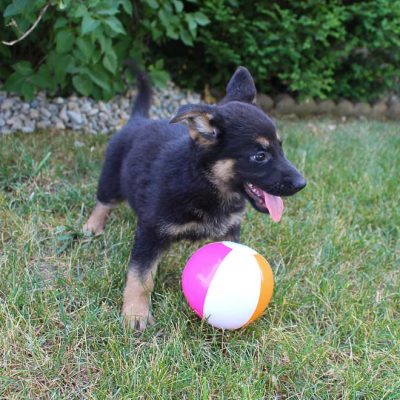 Zia - female AKC German Shepherd doggie for sale at Grabill, Indiana