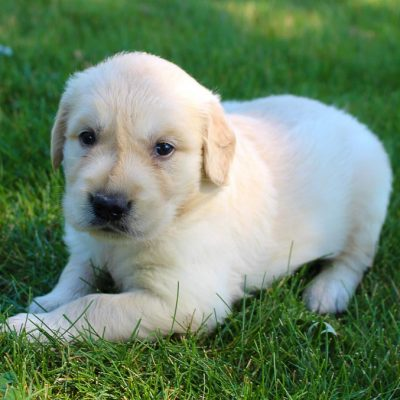 Cassey - AKC Golden Retriever female pupper for sale near New Haven, Indiana