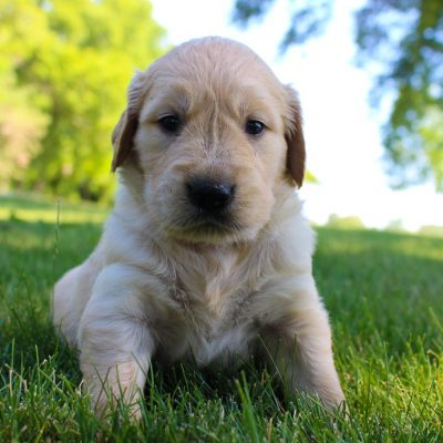 Dayanna - AKC Golden Retriever puppie for sale in New Haven, Indiana