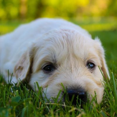 Jax - male AKC Golden Retriever doggie for sale at New Haven, Indiana