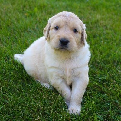 Jayla - AKC Golden Retriever puppy for sale near New Haven, Indiana