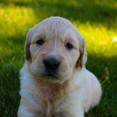 Nikki - pup AKC Golden Retriever for sale in New Haven, Indiana