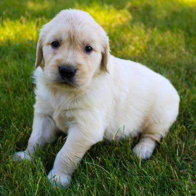 Shadow - AKC Golden Retriever pupper for sale at New Haven, Indiana