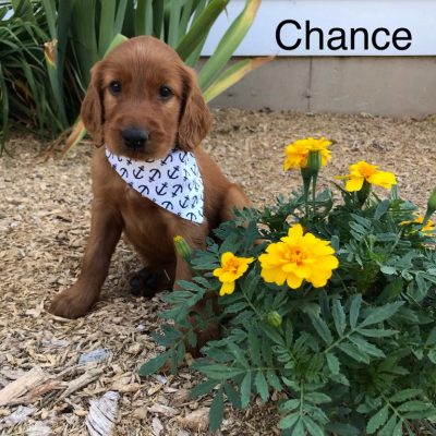 Chance - AKC Irish Setter doggie for sale near Shipshewana, Indiana
