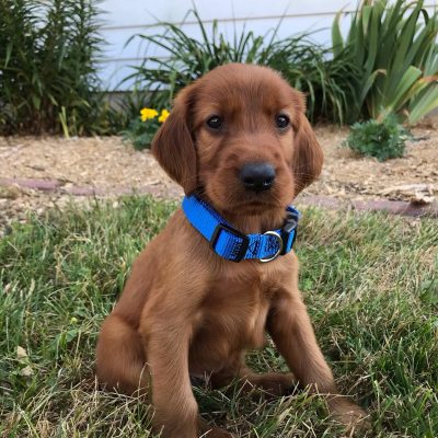 Bronson - AKC Irish Setter male puppie for sale at Shipshewana, Indiana