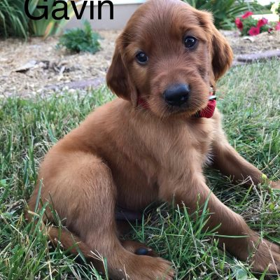 Gavin - AKC Irish Setter pup for sale in Shipshewana, Indiana