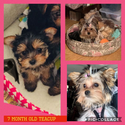 Yorkie - Yorkshire Terrier puppies for sale in Fort Myers, Florida