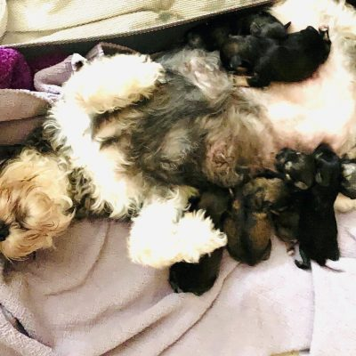 Bella - Schnauzer pupper for sale in Fort Myers, Florida