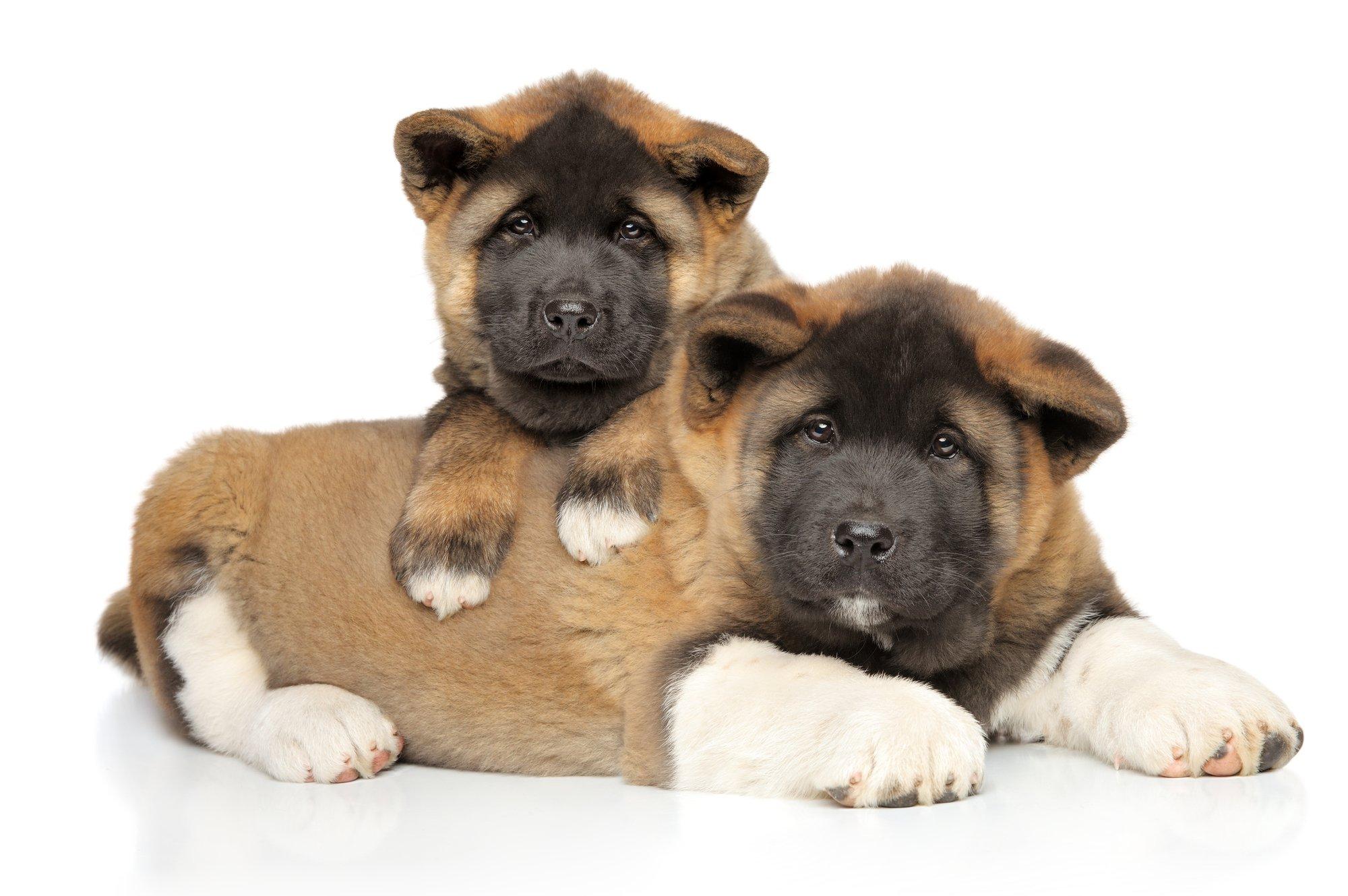 2 American Akita puppies that look like bears