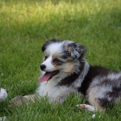 Junior - ASDR Toy Australian Shepherd pup for sale near Utica, Kentucky
