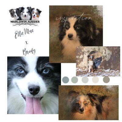 Upcoming Litter - Miniature Australian Shepherd puppies for sale at Utica, Kentucky