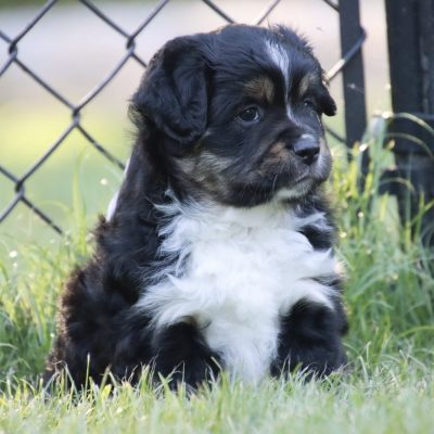 Billy ASDR Miniature Australian Shepherd puppy for sale in Philpot, Kentucky