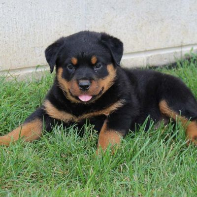 Nicole - AKC Rottweiler puppy for sale in Shipshewana, Indiana
