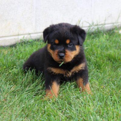 Jade - female AKC Rottweiler puppie for sale near Shipshewana, Indiana