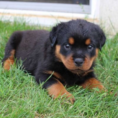 Jacy - AKC Rottweiler doggie for sale at Shipshewana, Indiana