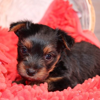 Tony - AKC male Yorkshire Terrier puppy for sale near Nappanee, Indiana