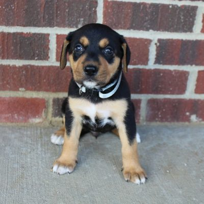 Mia - Designer breed large puppie for sale at New Haven, Indiana